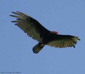 Turkey_Vulture_soaring
